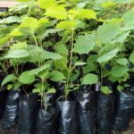 Gmelina vs Mahogany, Which is More Profitable to Grow