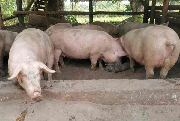 Top 10 Hog and Pork Producing Provinces in the Philippines